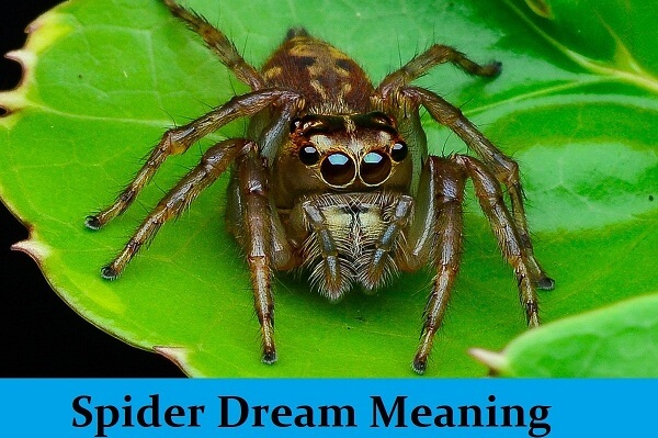 Spider Dream Meaning and Interpretation: What Does It Mean?