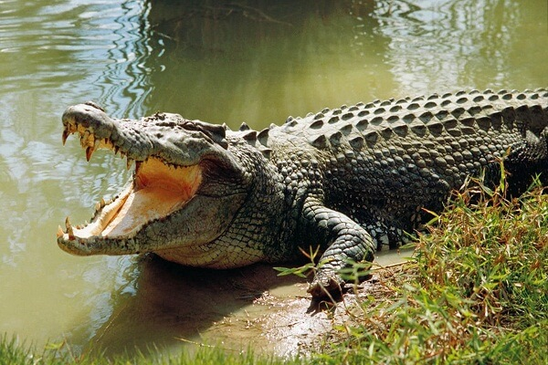 Dream Interpretation of Crocodile: What does crocodile symbolize?