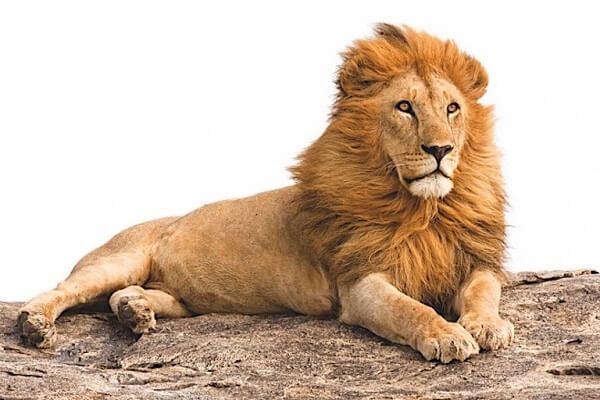 Lion Dream Interpretation: What Does It Mean?