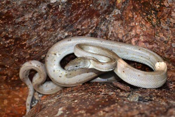 Silver Coloured Snake Dream Meaning: Let's Understand Dream Meaning