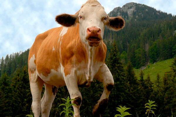 Cow Attack in Dream: What Does It Mean and Symbolize? Let's Interpret!