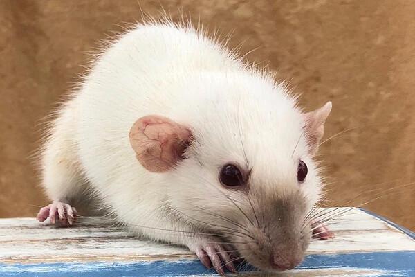 Rats Dream Interpretation