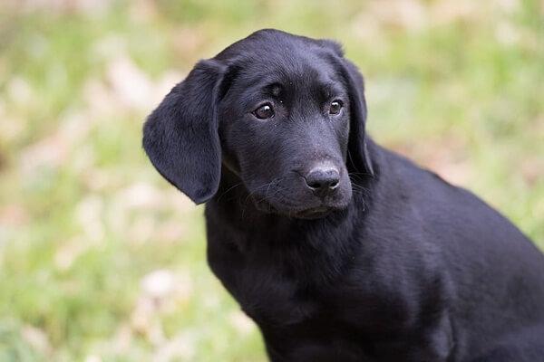 Seeing Black Dog in Dream