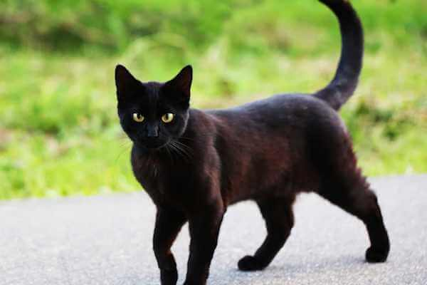 Black Cat Dream Meaning: What is the symbolic meaning of a black cat?