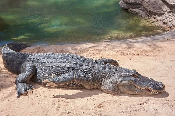 Dreams About Alligators Meaning