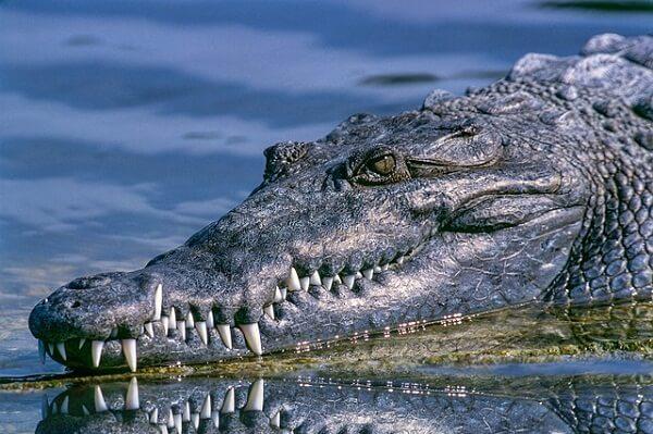 Alligator Dream