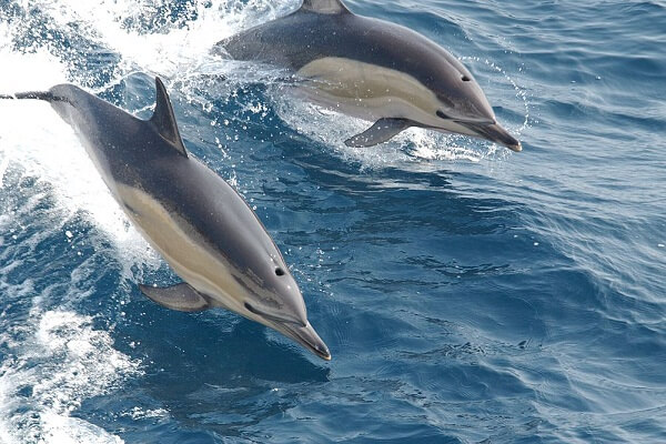 Dolphin Dream Meaning and Interpretation